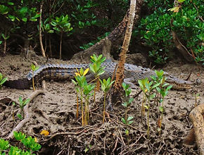croc 2 (Small).JPG