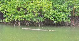 croc 3 (Small).JPG