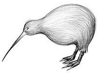 26.Kiwi (Large).jpg