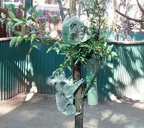 coala (Large).jpg