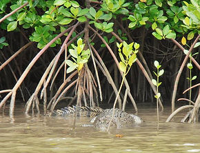 croc 1 (Small).JPG