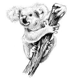 9 - coala (Large).jpg