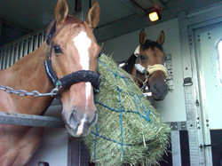 Horses in Stall and a Half