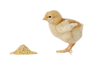 Baby%20chicken%20having%20a%20meal%20iso
