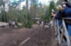 Feeding-Reindeer-Finland.jpg