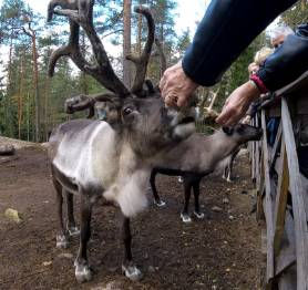 People-Feeding-Reindeer-Finland.jpg