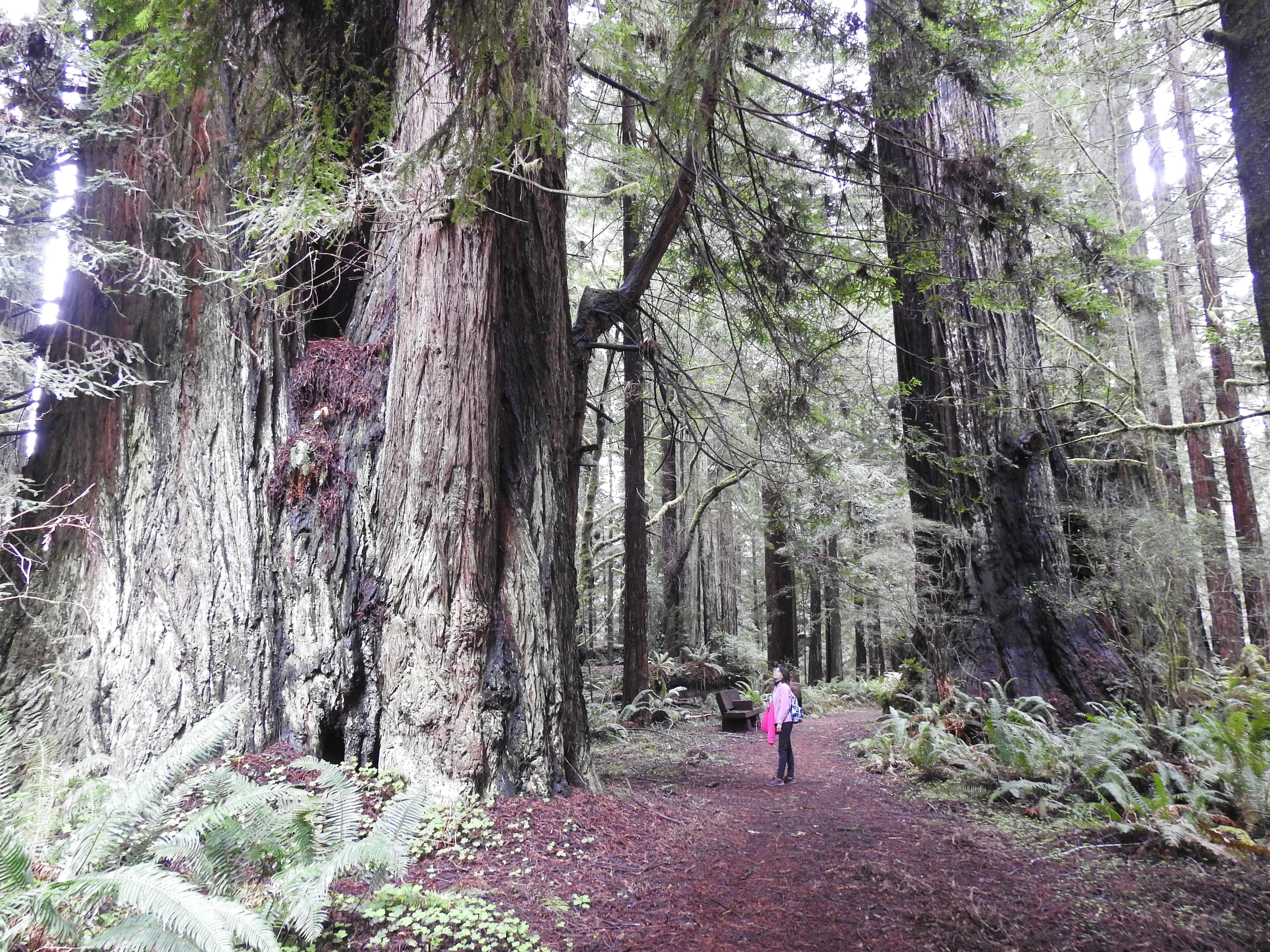 紅木國家公園的紅杉高達一百公尺