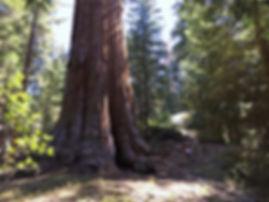 美國國家聖誔樹的格蘭特將軍樹.JPG