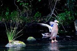 Canard sur le Ceré
