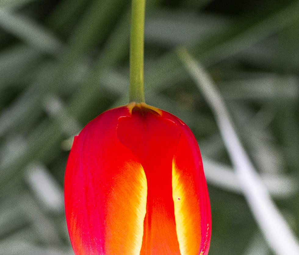 4 Lustre tulipe.JPG