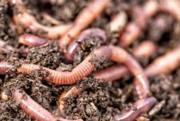 Red Worms for sale.jpg