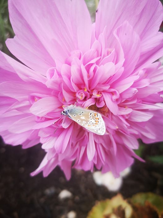 A small moth sits on a giant pink double petal cosmos flower in Sarah garden