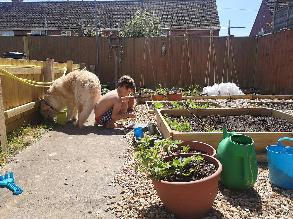 Leo also known as Squirrel aged 7 in swimming shorts gardening in the vegetable beds with his golden retriever dog.