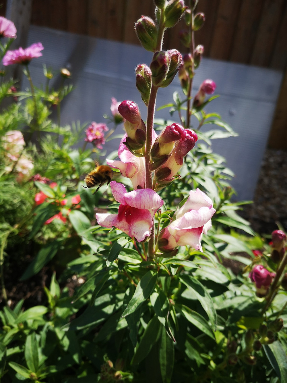 A bee hovers around a pink snapdragon in Sarahs garden