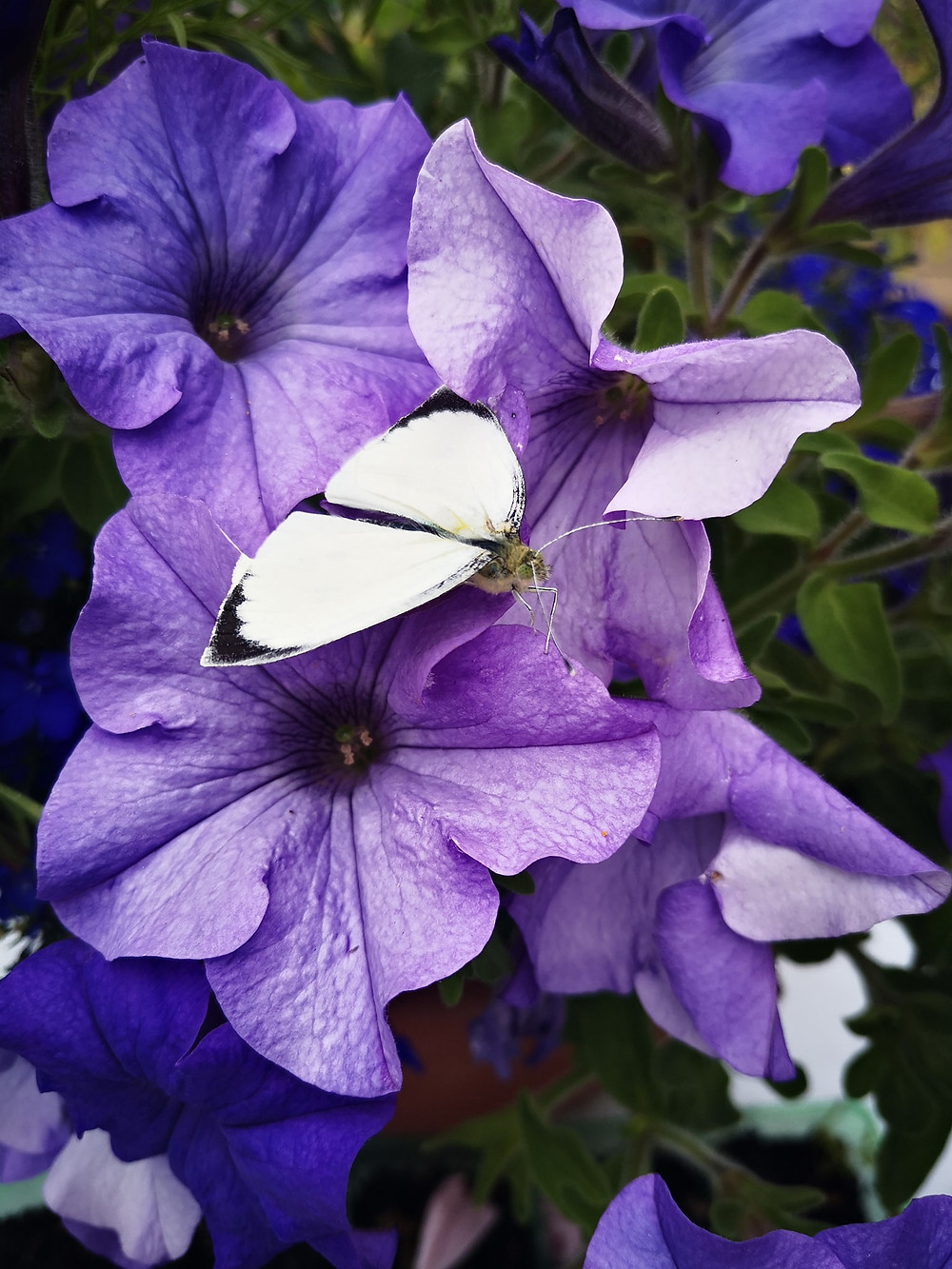 A white moth with black tipped wings on purple petunias