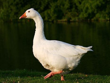Domestic_Goose_(2).jpg