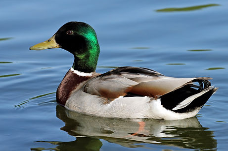 ducks-mallard.jpg