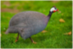 Helmeted Guineafowl  007.jpg