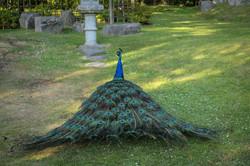 Peacock | Holland Park