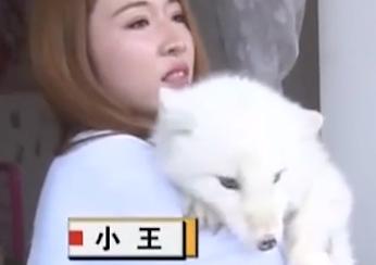 Filhote de Spitz japones é confndido com raposa do artico.