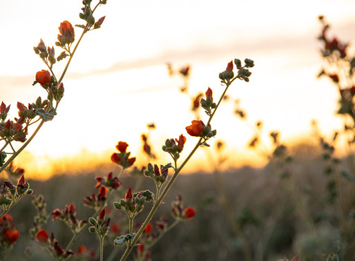 16 Spectacular Spring Wildflowers in Tucson, Arizona (+ Where to Find Them)