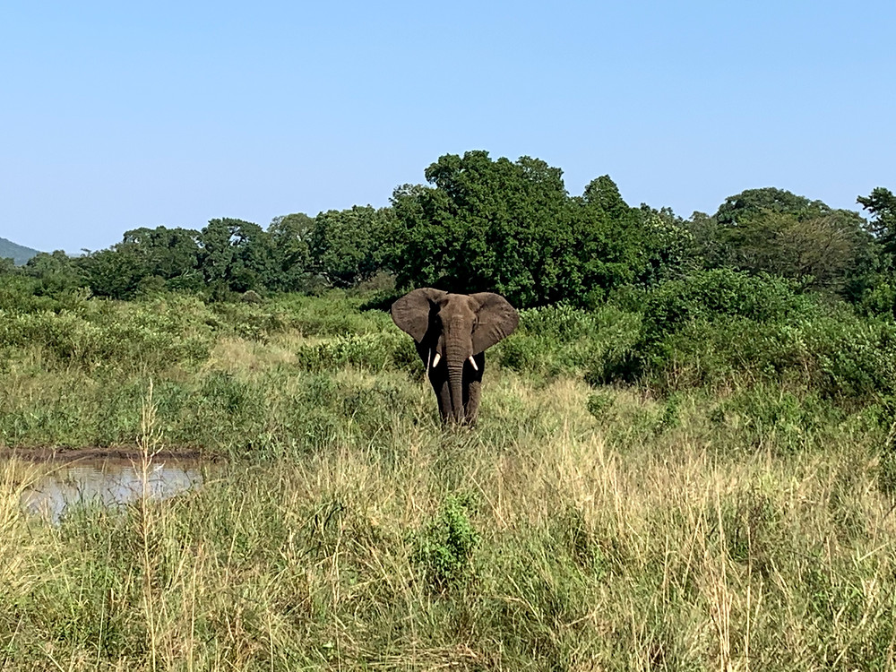 A male African elephant spotted at Hluhluwe-Imfolozi Game Reserve