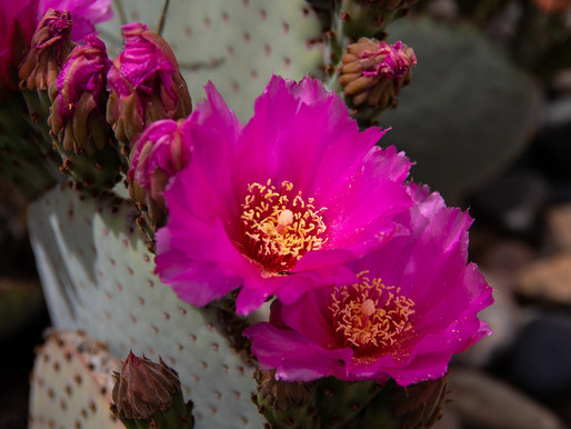 6 Cool Cactus Flowers You'll Find in the Desert