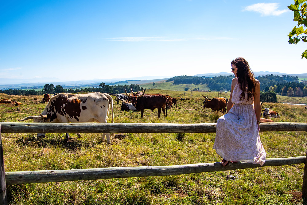 Viewing Nguni cows in the Midlands. South Africa