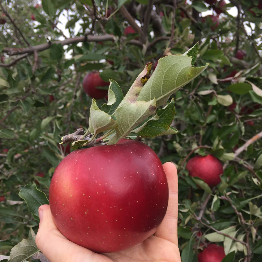 Red apple from orchid