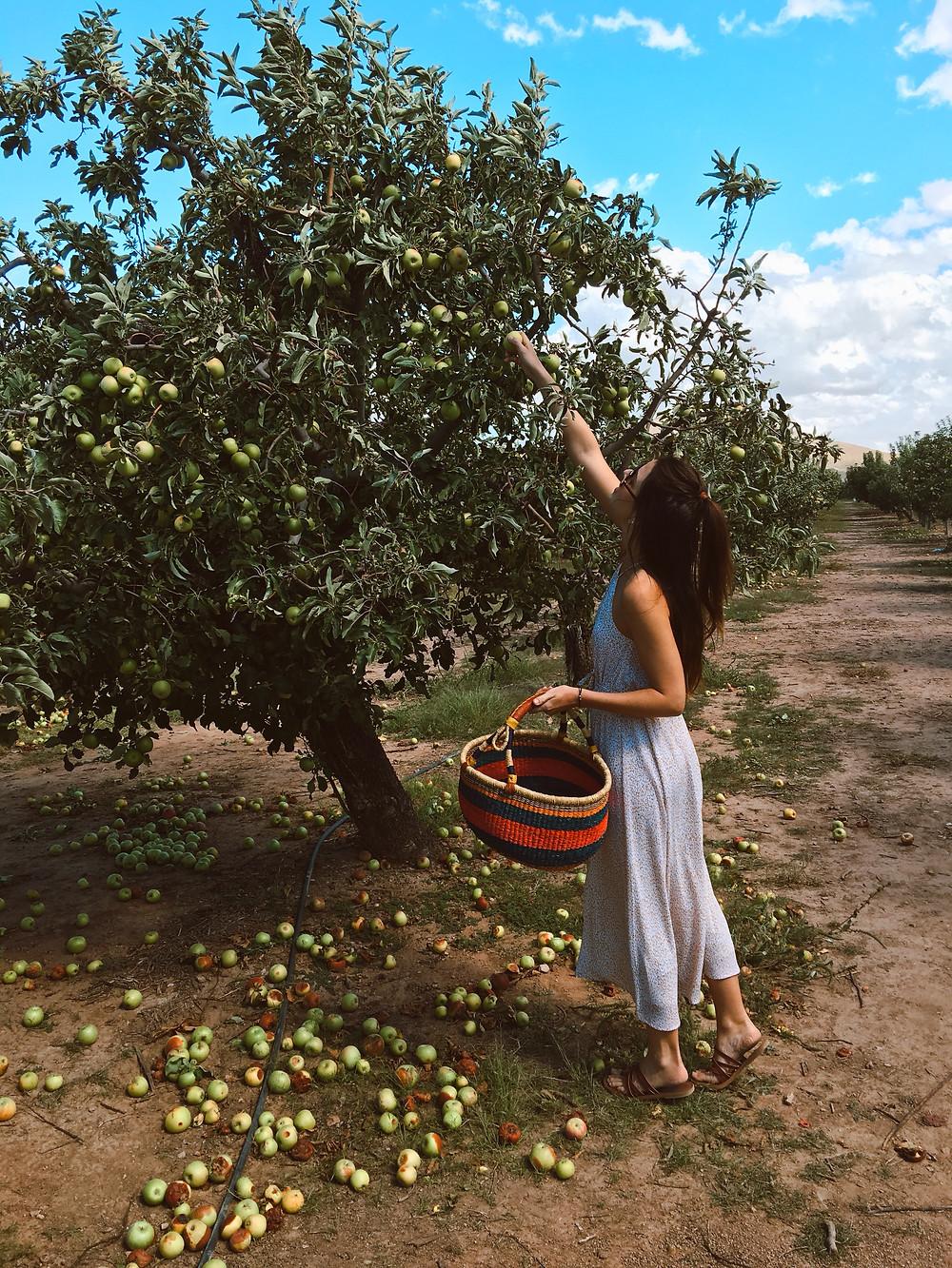 Apple picking in Willcox, AZ