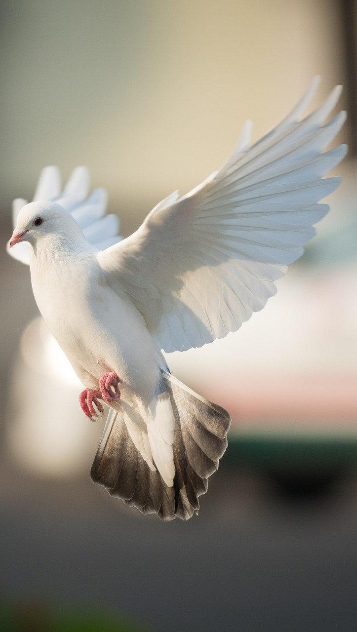 Dove In Flight.jpg
