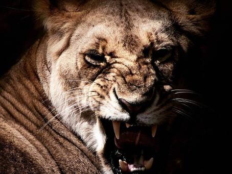 World Lion Day 2018