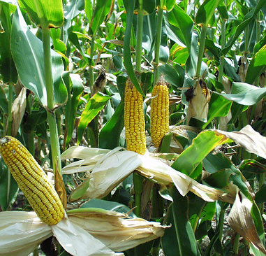 maize photo.png