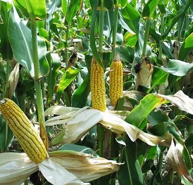 maize photo.png
