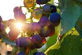grapes-3550742_1920 (1).jpg