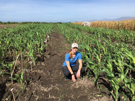 Buckler Lab and CHIBAS Complete Third Cycle of Genomic Selection in Sorghum Breeding Program