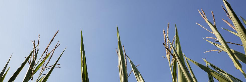 Top of corn stalks
