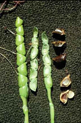 maize domestication.png
