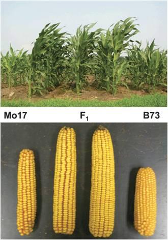 maize heterosis.png
