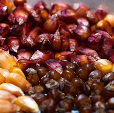 maize seeds.png