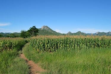 corn field.jpeg