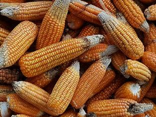 maize cobs.jpg