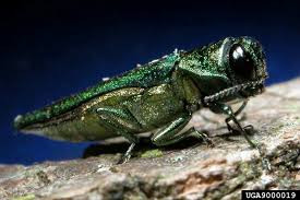Administration Implements Wood Quarantine to Limit Spread of Invasive Emerald Ash Borer