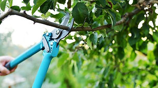 Shrub pruning and hedge trimming
