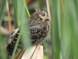 Microphones versus Ears: Testing Songmeter Ability to Detect Marshbirds