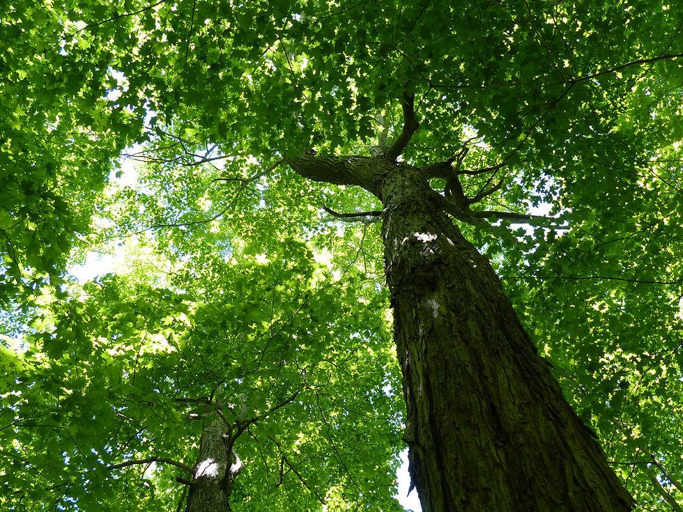GreenMeadows_Tree(02)_21June2020.JPG