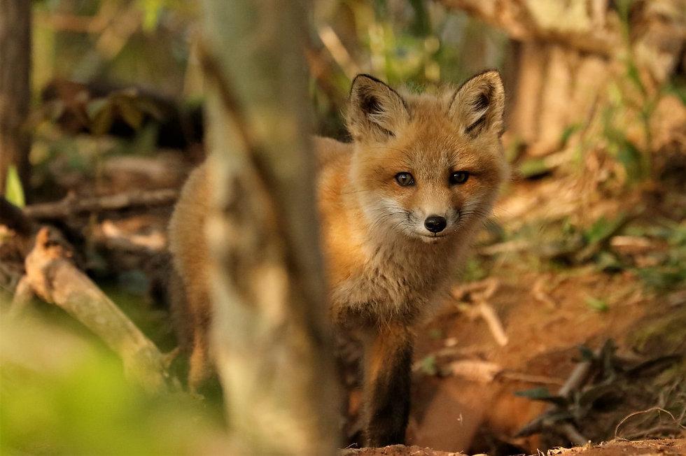 foxy2.jpg