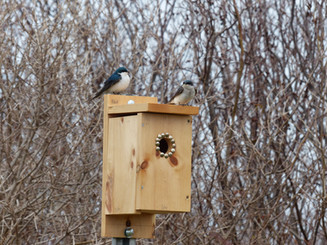 Improving Nesting Opportunities Around Wetlands in PEI Protected Areas