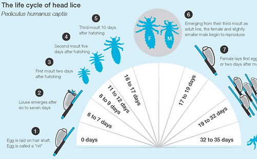 lice cycle.PNG