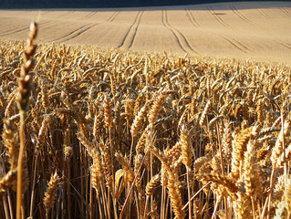 SOW WHAT? The Parable of the Weeds and Wheat and its Missiological Implications